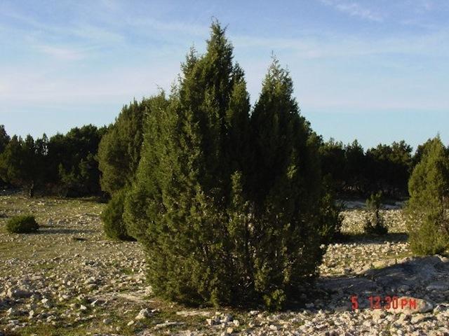 The Thuya Tree